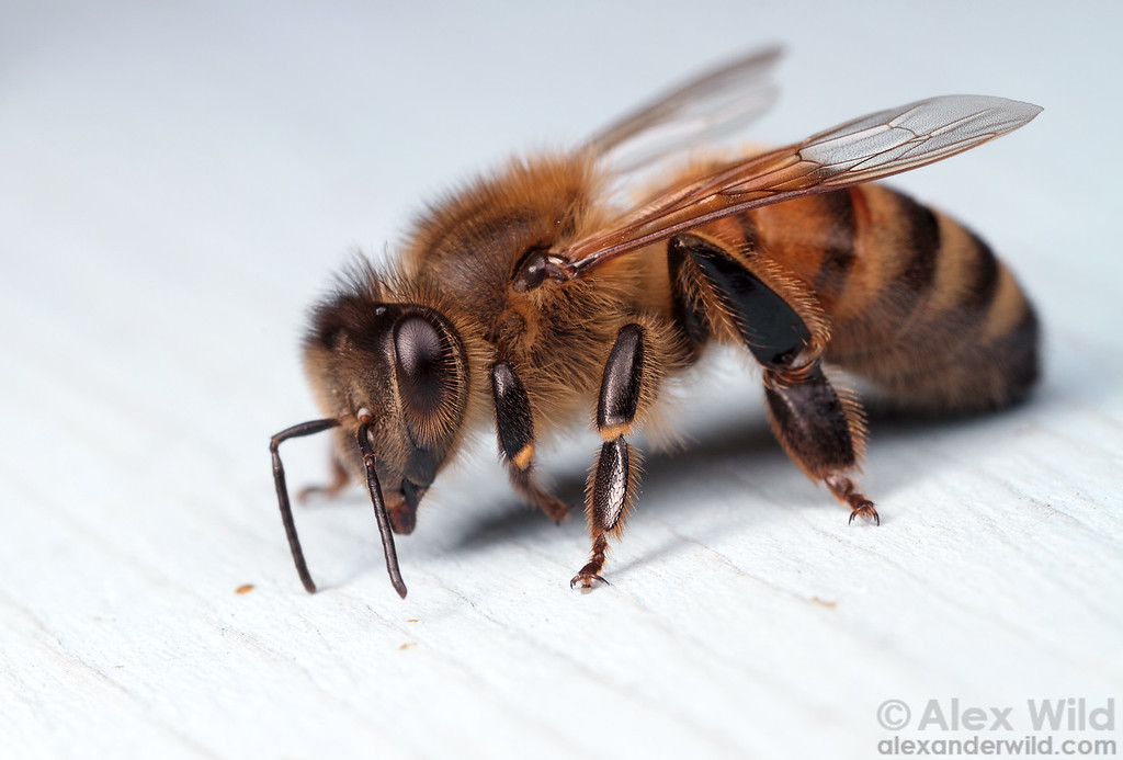 A worker honey bee, Apis mellifera.
