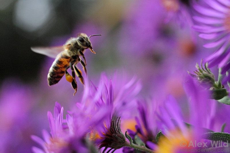 A honey bee forages among the autumn asters, one of the last floral resources available before winter.
