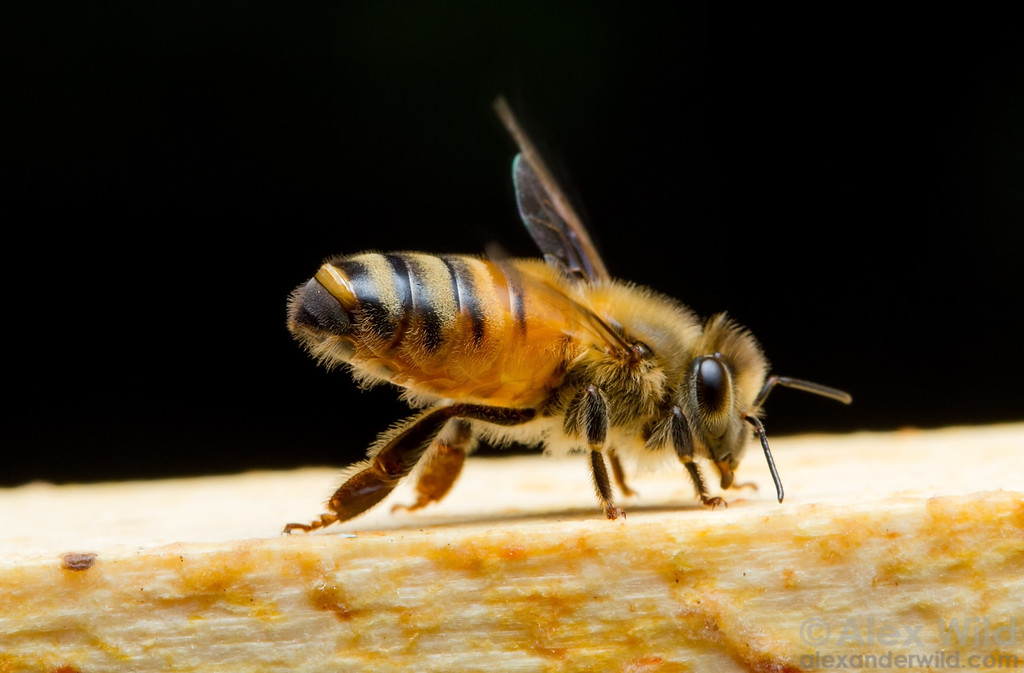 A worker honey bee fans air over the exposed Nasonov gland near the tip of her abdomen. The pheromones produced by the gland help other bees orient to the colony.   Urbana, Illinois, USA