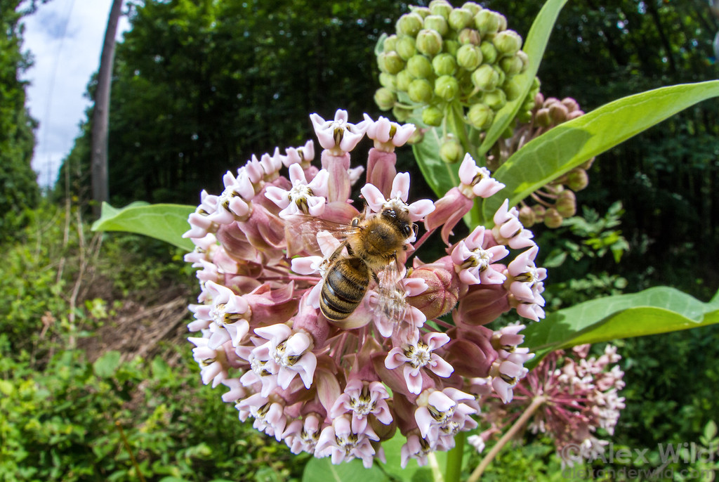 A worker bee gathers pollen from common milkweed (Asclepias syriaca), a significant nectar source in early summer.  Urbana, Illinois, USA