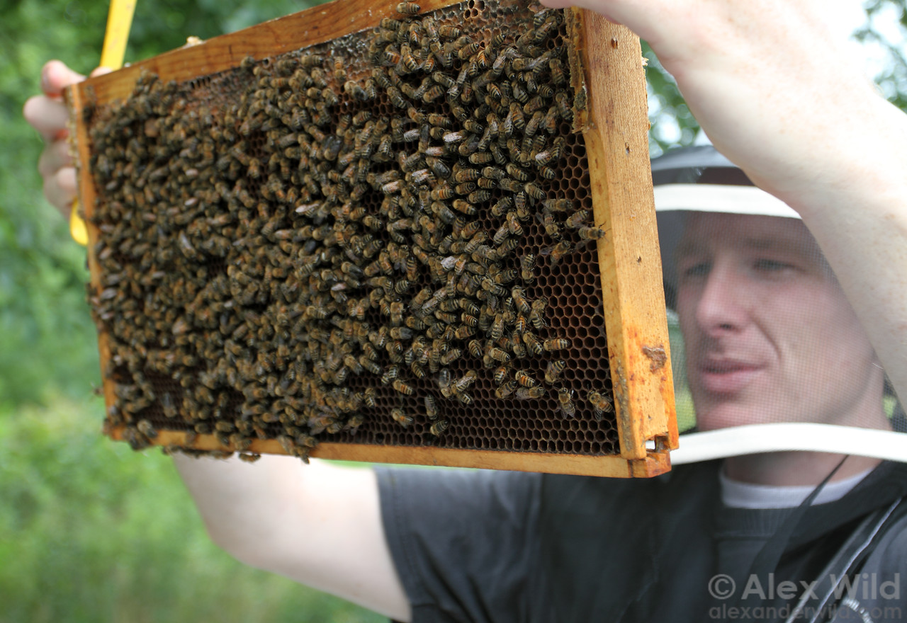 A beekeeper inspects brood combs during a routine hive inspection.
