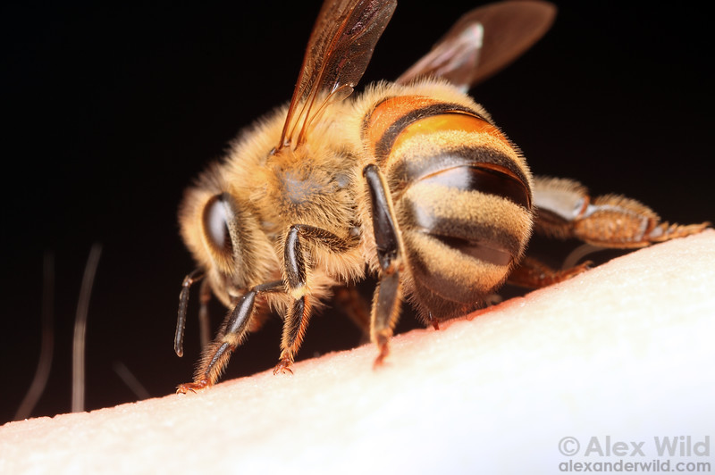 A stinging bee, her abdomen curved forward for leverage.