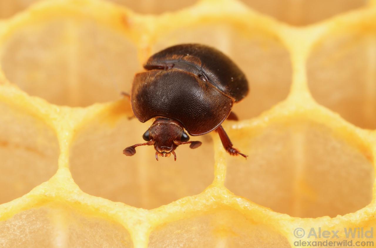 Aethina tumida small hive beetle.