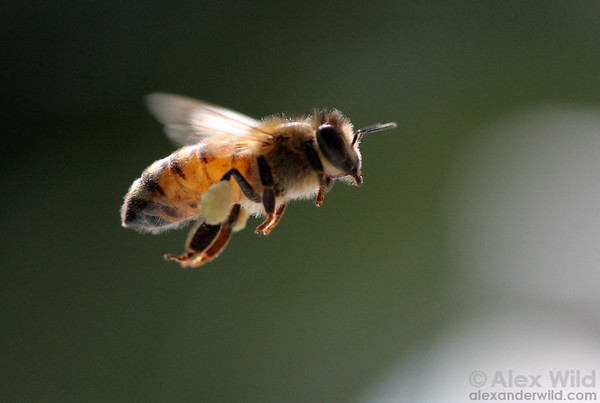 Honey bee flying with pollen - Photo by Alex Wild