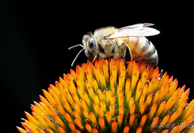 A worker bee gathers nectar from a purple coneflower (Echinacea purpurea) in Illinois.