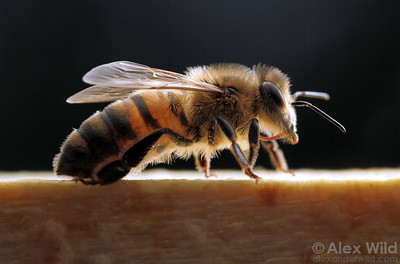 A worker honey bee, Apis mellifera. The relative hairiness of bees helps them to collect pollen and to regulate their body temperature.