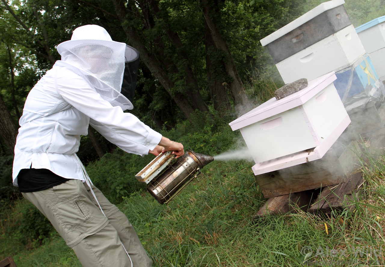 Beekeepers have long known that smoke calms bees, preventing the colony from mounting a full defense against intruders. Here, a beekeeper smokes a hive before opening it.