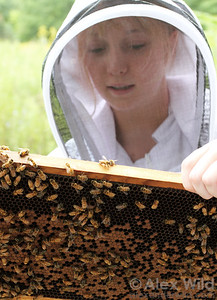 A beekeeper inspects brood comb during a routine hive inspection. Regular inspections are necessary to monitor the health of the colony and better plan management activities.