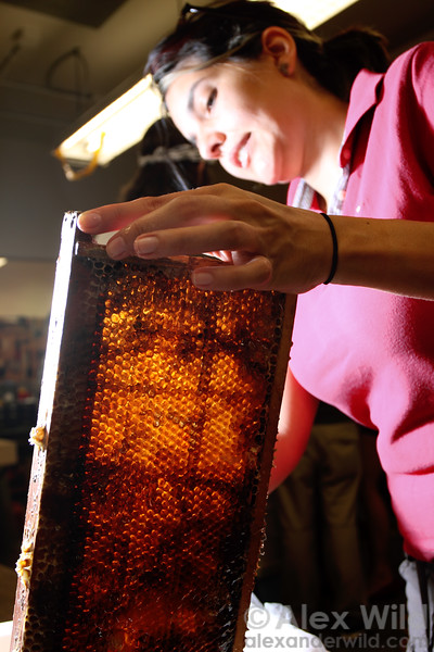 Ripe, decapped honey ready to be spun out in a centrifuge.