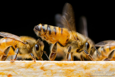 A worker honey bee fans air over the exposed Nasonov gland near the tip of her abdomen. The orientation pheromones produced by the gland help other bees orient to the colony.   Urbana, Illinois, USA