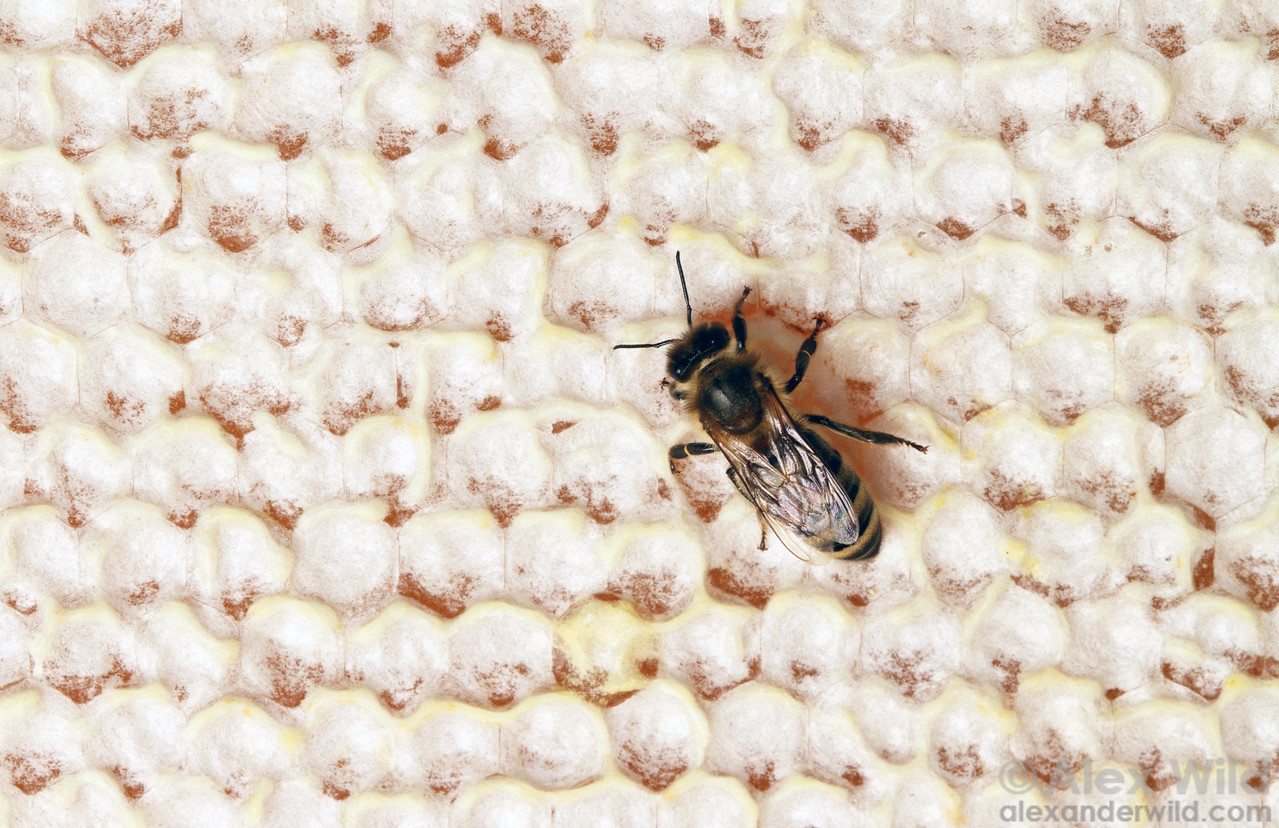 When honey is ripe, bees cap the cells with fresh wax.
