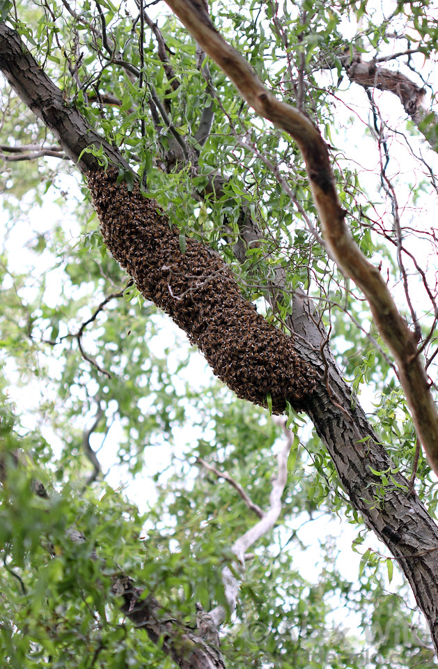 A spring swarm rests high in a tree branch.