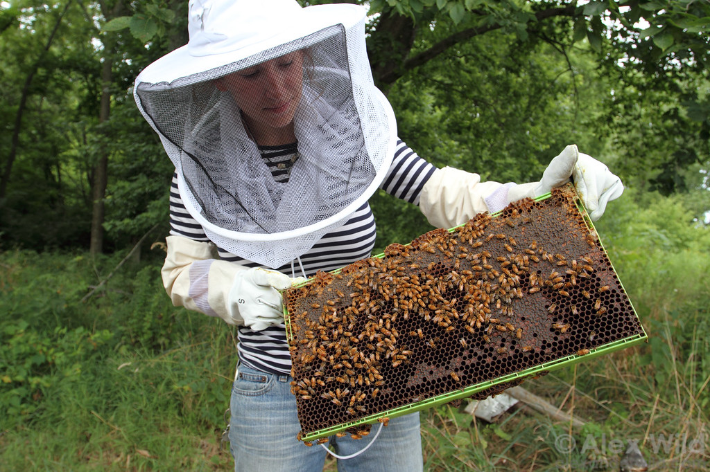 A beekeeper examines a frame of honey.