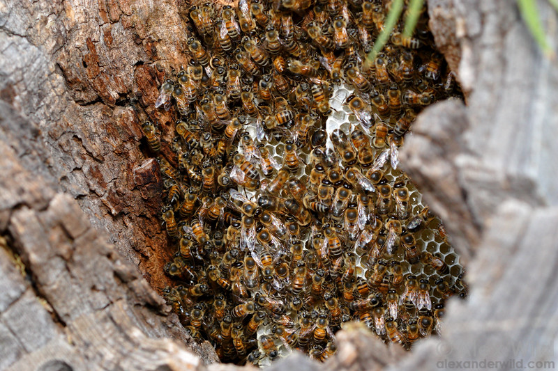 In the wild, honey bees normally nest in tree cavities. Here, a young colony of Africanized bees has established a colony inside a stump (Tucson, Arizona).