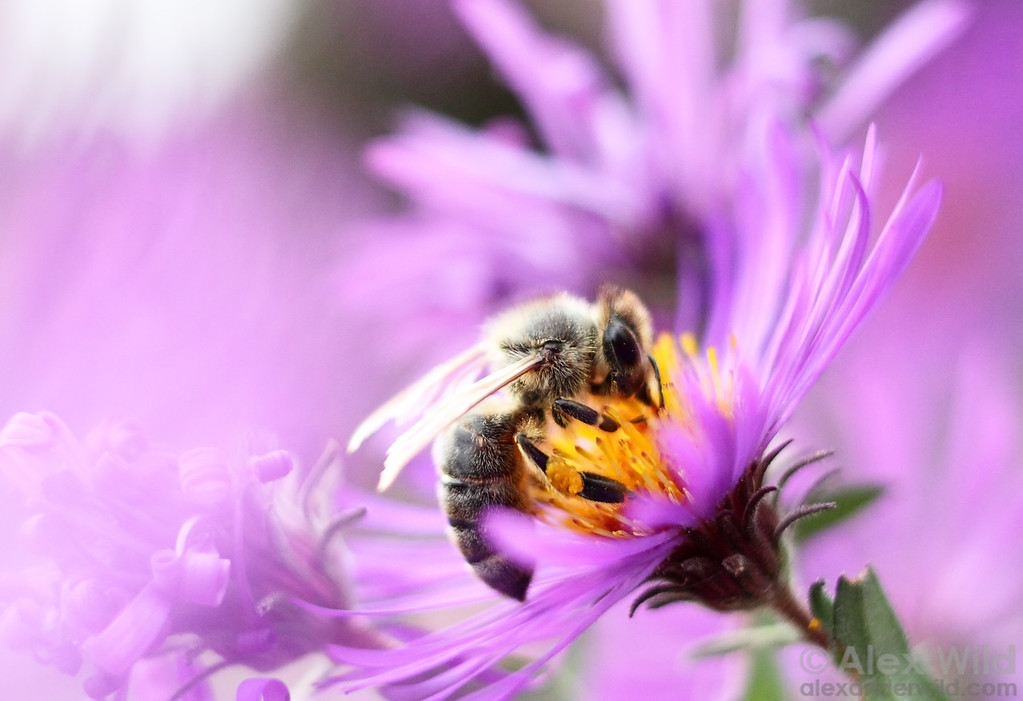 Gathering pollen and nectar from the fall bloom of New England asters.