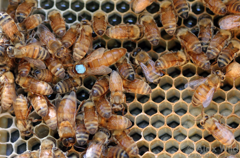 Beekeepers will often mark queens to render them more visible. The color is standardized to correspond to a particular year; blue paint indicates this queen was marked in 2010.