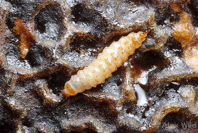 Small hive beetle (Aethina tumida), larva. Heavy infestations of these larvae can cause a large portion of the honey stores to ferment.