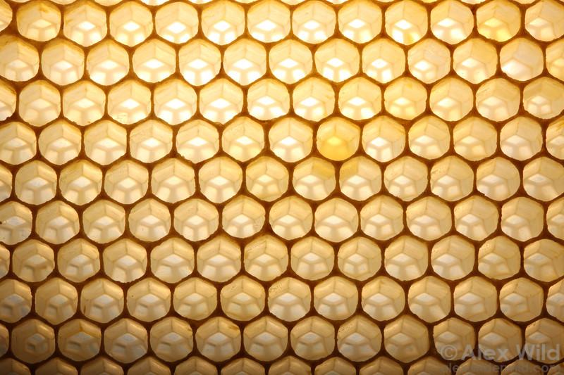 Nectar ripens in open wax cells in a honey bee nest.