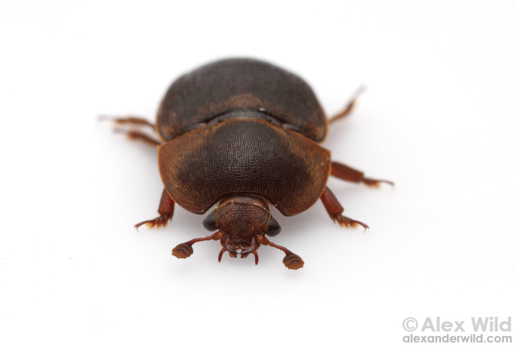Portrait of Aethina tumida, the small hive beetle.