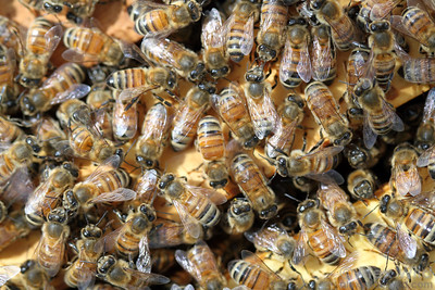 Worker bees in a crowded hive.