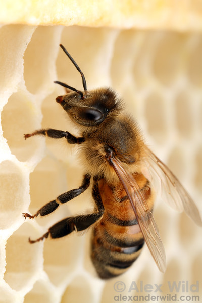 A worker bee on new wax comb.