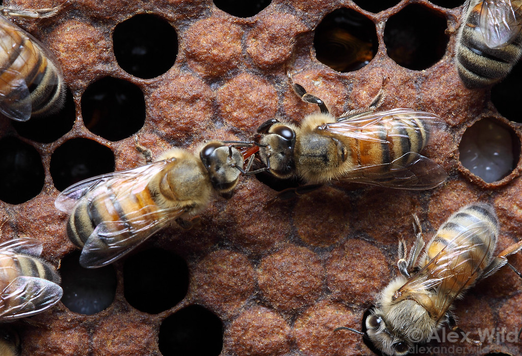 Two worker bees engage in trophallaxis food-sharing behavior.