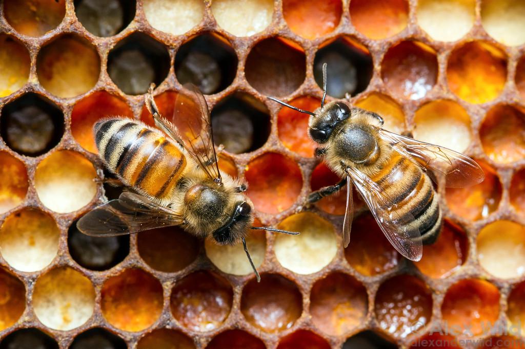 Honey bee comb by Alex Wild