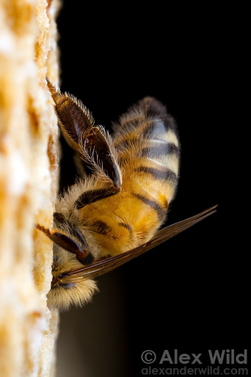A young worker honey bee cleans an empty cell.
