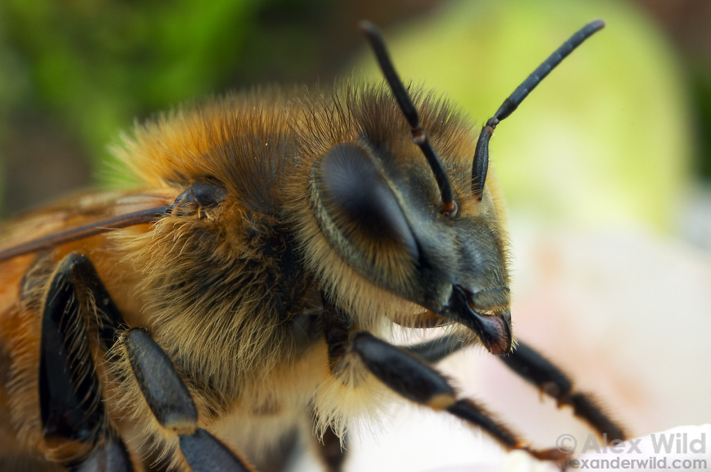 A honey bee worker, close-up. The hairs serve several functions, including insulation, pollen collection, and sensory input.