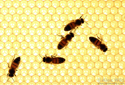 Hive bees ripening nectar.