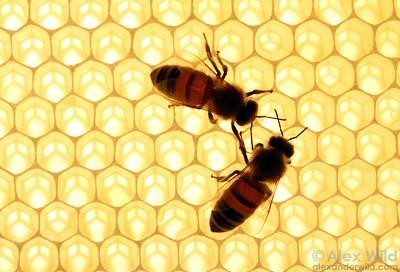 Hive bees ripening nectar.