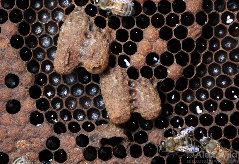 Four capped queen cells.