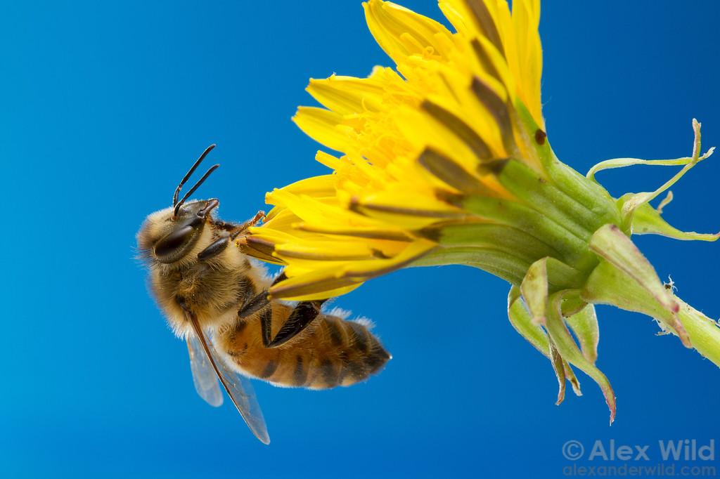 A worker honey bee visits a dandelion blossom.  Urbana, Illinois, USA