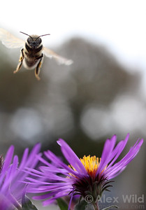 A foraging bee visits a New England aster.