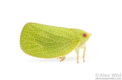 Acanalonia conica