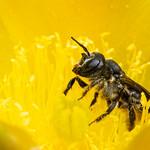 Megachile in Opuntia