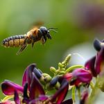 Megachile scupturalis