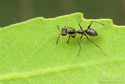 Dryinidae