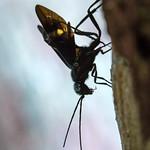 Pristaulacus fasciatus