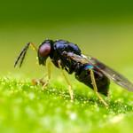 Eulophidae: Entedoninae