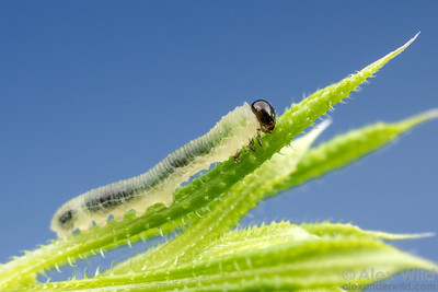 Halidamia affinis