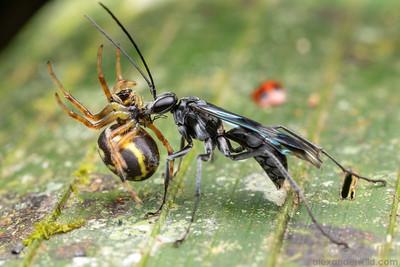 Priochilus sp