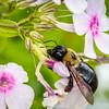 Carpenter bee, Xylocopa virginica
