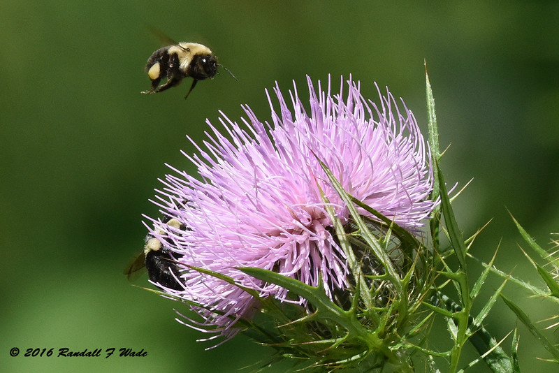 Bumble Bees And Bull Thistle