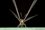 Myrmeleontidae - Antlion