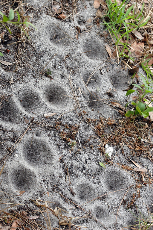 Antlion pits in sandy soil.  Archbold Biological Station, Florida, USA