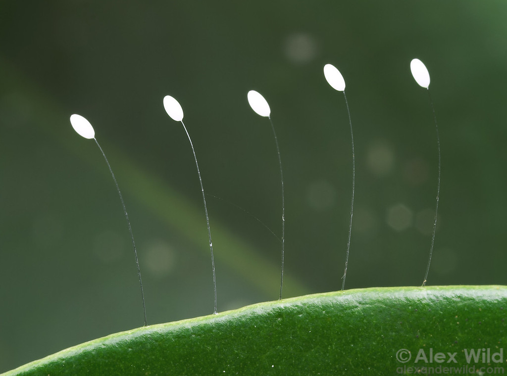 Lacewing eggs are supported on long, silken stalks for protection against predators.  Mungkan Kandju National Park, Queensland, Australia