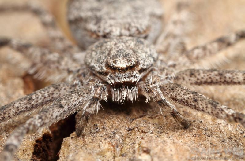 Philodromus running crab spider.  Urbana, Illinois, USA