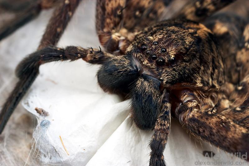 An Australian spider protects her egg sac from an overzealous photographer.  Cape York Peninsula, Queensland, Australia