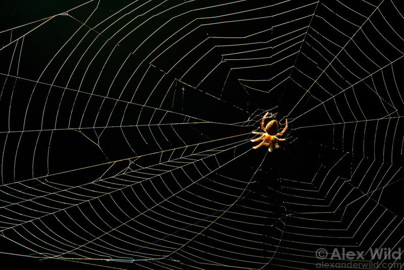 Spider in the web.  Armenia, Belize